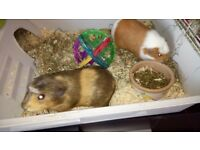 2 female guinea pigs only 11 months old with cage and accessories plus playpen