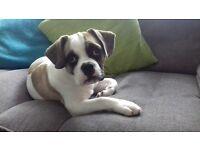 french bulldog x pug for sale