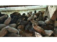 Male chinese painted and white italian quail for sale