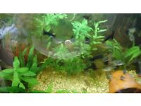 moscow midnight black guppies for sale.