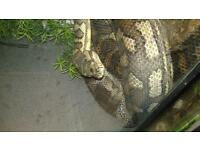carpet python for sale