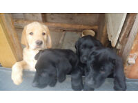 Chunky Labrador Pups - Kennel Club Registered