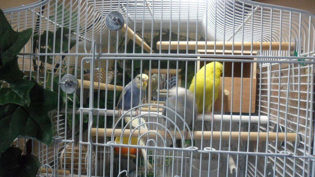 4x Nice Budgies mix colours males and females