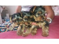 3 yorkshire terrier adorable puppies
