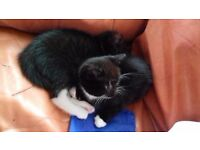 2 black and white male kittens brothers boys