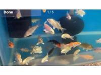 Koi Carp / Ass Goldfish / Orfe