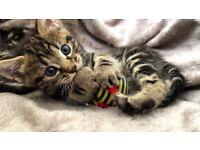 3 x Marble Bengal Kittens