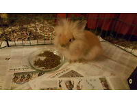 Lionhead rabbit girls with cages and runs