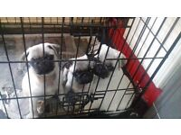 3 beautiful kc registered pug puppies