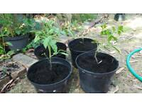 Tomatoe plants in large containers