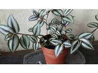 Trailing houseplant
