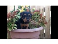 KC Registered Welsh Terrier dog pup ***Last pup available***