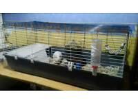 2 male guniea pigs plus extra large cage