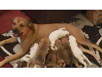 Staffy cross Puppies