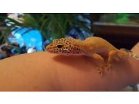 2 x baby leopard geckos