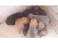 Staff puppies ready 14 may ring for more info 9 available