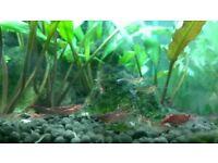 Cherry Shrimp - Fish Tank Aquarium