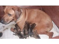 Rhodesian Ridgeback kc reg puppies looking for their forever homes
