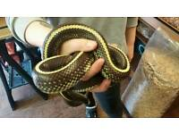 King Snake (Dot Dash) for sale