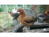 Pair of bantam chickens - millefleur pekin crosses (silkie, Dutch)