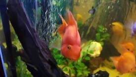 One Orange parrot cichlid fish and Severum 30
