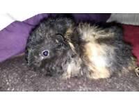 1female baby guinea pig