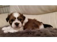 Only 1 male Shihtzu cross Jack Russell puppies remaining