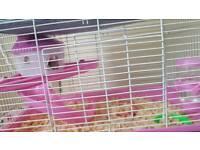 Girl hamster