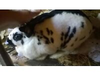 Free to a loving home, 3 yr old white and black Rex rabbit. She is a lovable lady.