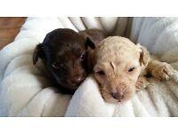 Poodle X Pomanian Puppies
