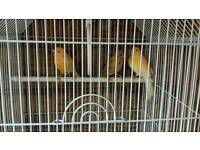 3x canaries with cage