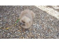 Fully bread pomeranian female dog for sale its one of a kind beautiful fog £375 ono call for info