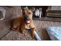 Red Staffy cross called Bailey