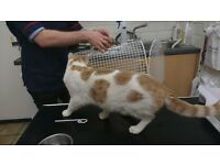 Intact, ginger and white male cat found in W7