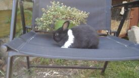 Buck netherland dwarf rabbits ready now for their new loving homes