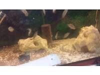 Jack Dempsey cichlids