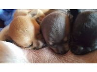 Adorable tiny Smooth Coat Chihuahua Puppies