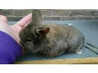 Gorgeous netherland dwarf cross mini lionhead rabbit kits