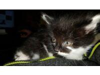 kitten (1 boy & 2 girls)