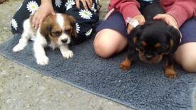 Pugalier puppies