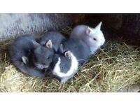 Netherland dwarf babies