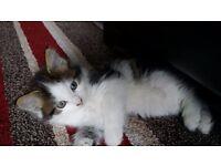 Very handsome fluffy tabby n white male kitten for sale