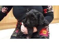 beautiful cavapoo pup