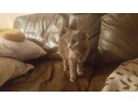 Maine Coon Blue Grey female kitten