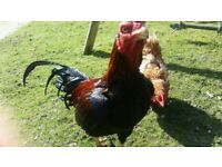 Aseel Rooster For Sale