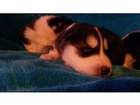 Siberian husky pups.kc reg,wormed,vac ect. Beautiful playfull pups.