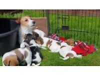 Puppies Jack Russells