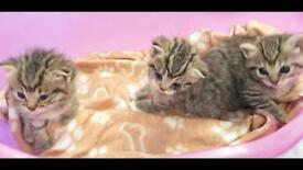 British shorthair kittens 1 girl left available to reserve