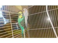 2 tame budgies/ talking with cage