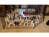 JACK RUSSELL LONG/BROKEN HAIRED PUPPIES FOR SALE